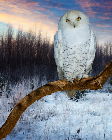 snowy owl: Snowy Owl during sunset  in winter time