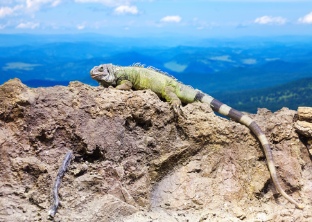 wildness: Green lizard at wildness area against mountain landscape