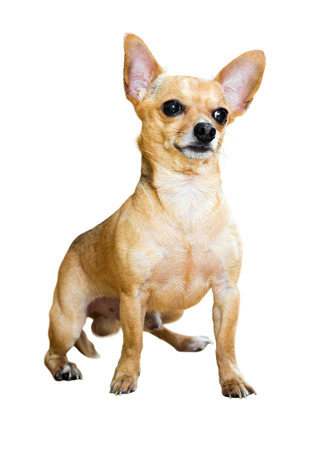 moscovian: Sitting Russian Toy Terrier. Isolated over white  background Stock Photo