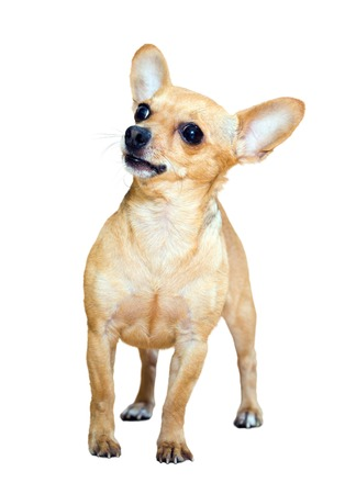russkiy: Russkiy Toy (Moscow Toy Terrier) over white background Stock Photo