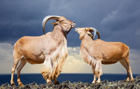 africa kiss: Standing couple of barbary sheep on rock against sea and sky