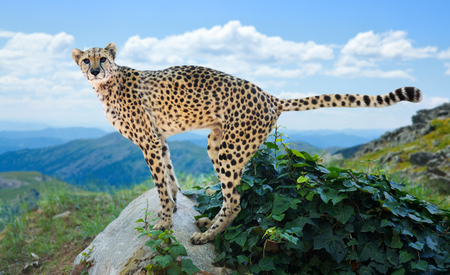 wildness: Male cheetah posing on stone at wildness area