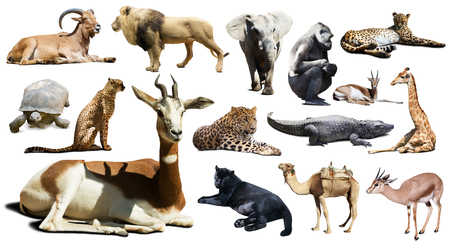 jirafa fondo blanco: Mohor gacela otros animales africanos. Aislado sobre fondo blanco