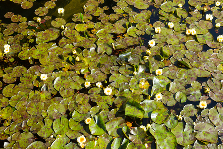 nymphaeaceae: White lilies in  quiet water of  lake Stock Photo
