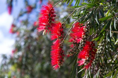 callistemon: Closeup of  Callistemon viminalis ( Melaleuca viminalis) plant  in spring