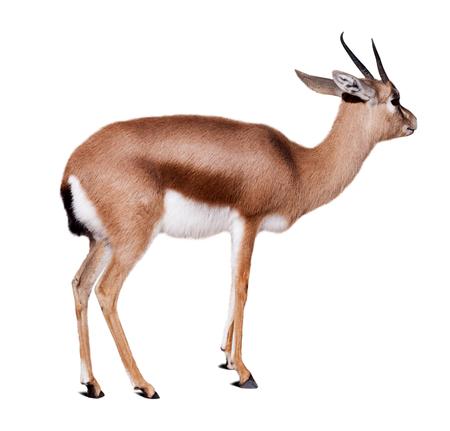 gazelle: dorcas gazelle (Gazella dorcas).  Isolated over white with shade