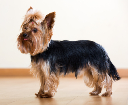 staying: Yorkshire Terrier staying on laminated floor