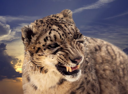 snow leopard: Head of Snow leopard against sunset sky
