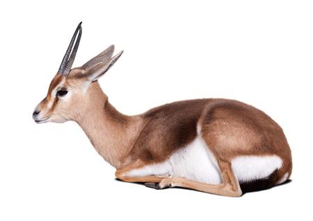 gazelle: Sitting dorcas gazelle (Gazella dorcas).  Isolated over white background Stock Photo