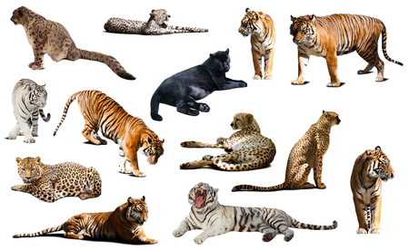 irbis: tiger and other big wildcats. Isolated over white background with shade