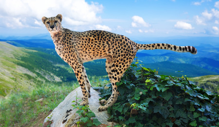 wildness: adult cheetah standing   in wildness area Stock Photo
