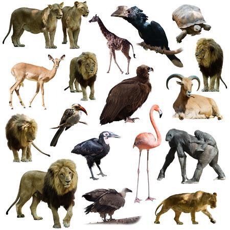 leones y otros animales africanos. Aislado más de blanco