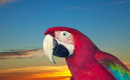 cloude: red macaw papagay (Ara chloropterus) against sunset sky