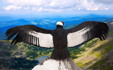 wing span: Andean condor (Vultur gryphus)  in wildness area