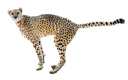 jubatus: Male cheetah  (Acinonyx jubatus). Isolated over  over white background