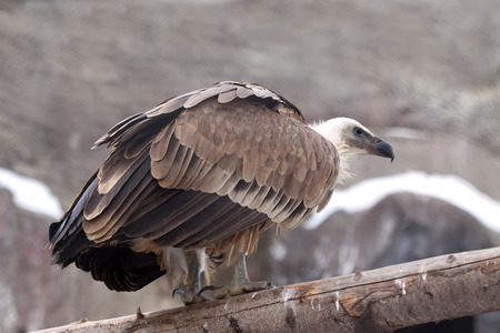 fulvus: full length shot of Griffon vulture (Gyps fulvus) against rocky background