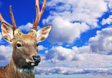 sika deer: Head of Sika deer (Cervus nippon) against sunset sky