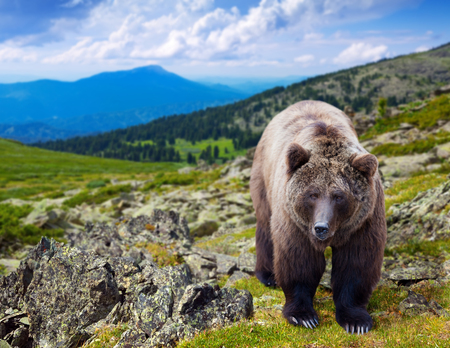 wildness: Brown bear in wildness area against mountains landscape