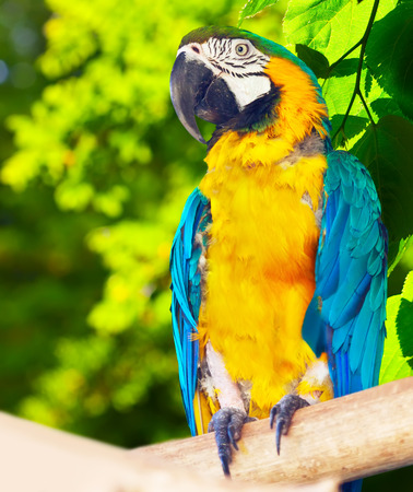 green winged macaw: Red-and-green Macaw (Ara chloropterus)  in forest area