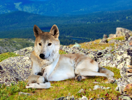 wildness: Gray wolf sits on stone in wildness area Stock Photo