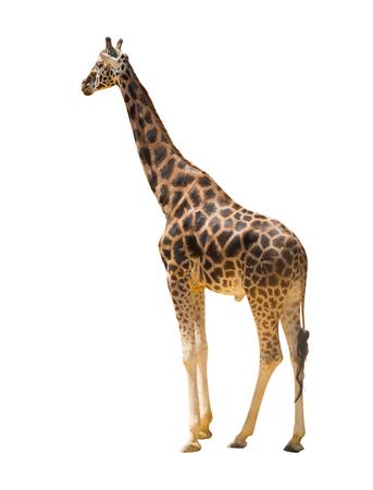 jirafa fondo blanco: Vista lateral de la jirafa. Aislado sobre fondo blanco