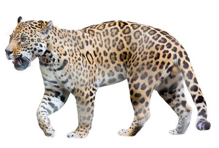 catamountain: Walking jaguar. Isolated over white background