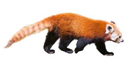 red panda (Ailurus fulgens). Isolated on white background Stock Photo