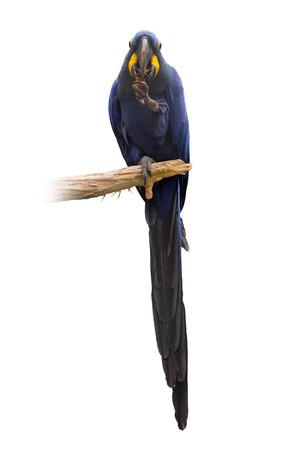 singleness: Hyacinth macaw (Anodorhynchus hyacinthinus) over white background