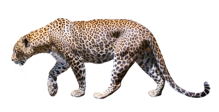 catamountain: Walking male leopard on a white background