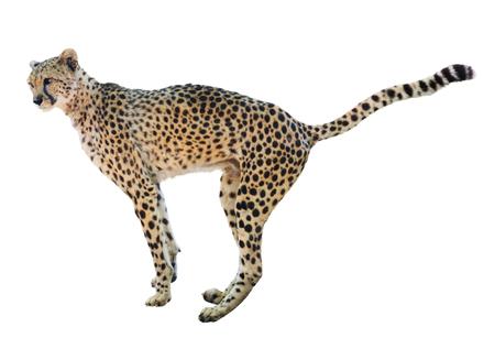 acinonyx: Isolated over white background standing  cheetah  (Acinonyx jubatus)