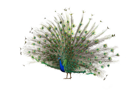 peahen: Female Indian Peafowl (peahen). Isolated over white