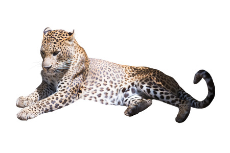 catamountain: Leopard on vacation. Isolated over white background