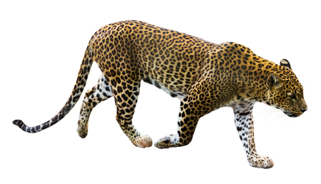 catamountain: male leopard running, isolated on white background