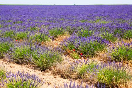 lavanda: Landscape with plant of  lavender Stock Photo