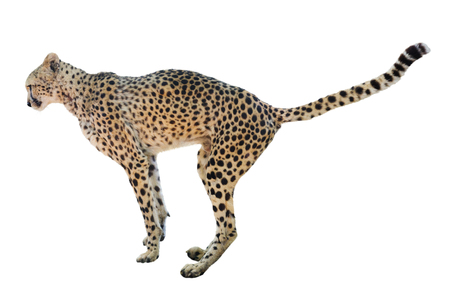 undomestic: Side view Isolated over white background standing  cheetah Stock Photo