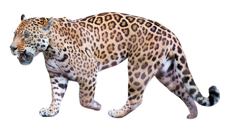 onca: Jaguar leisurely strolls. Isolated over white background