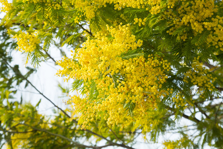 temperate region: Branches of acacia dealbata with yellow flowers in spring park