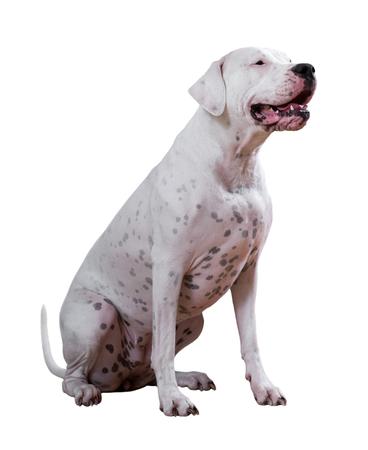 argentino: Dogo Argentino, on white background