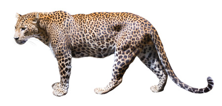 catamountain: Walking leopard. Isolated over white background Stock Photo