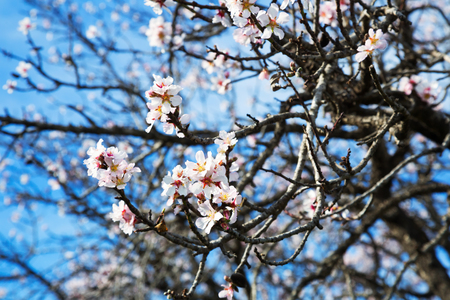 temperate region: Cherry blossoms with white petals flowers in spring park