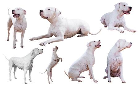 argentino: Set of Dogo Argentino, isolated on white Stock Photo