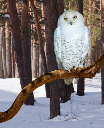 snowy owl: Snowy Owl  at  forest in winter time