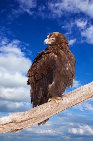 chrysaetos: eagle sits on wood trunk against sky