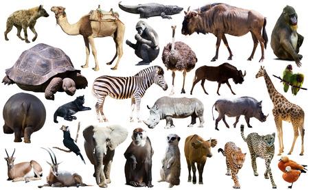 Insieme di diversi animali africani isolati su bianco Archivio Fotografico