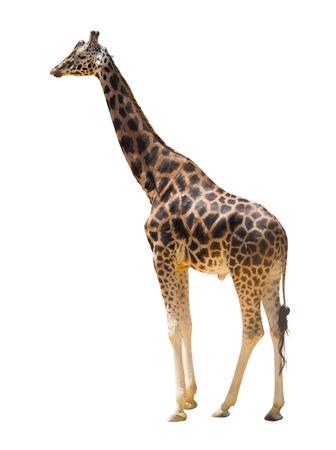 jirafa fondo blanco: vista de la jirafa que caminan. Aislado sobre fondo blanco Foto de archivo