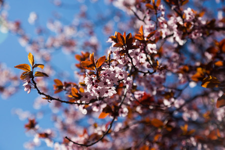 temperate region: Clusters of cherry flowers blossoming in blue sky