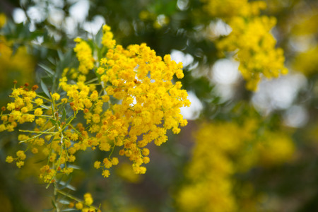 blossoming yellow flower tree: Close-up of australian acacia cultriformis bright yellow flowers