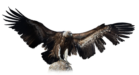 wing span: black vulture. Isolated over white background Stock Photo