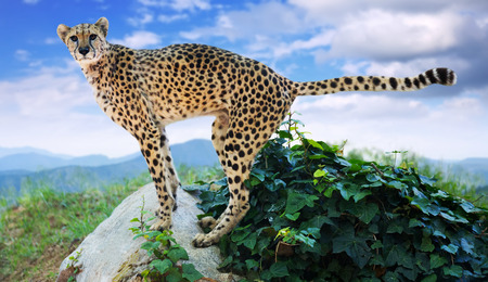 wildness: Male cheetah standing  at wildness area