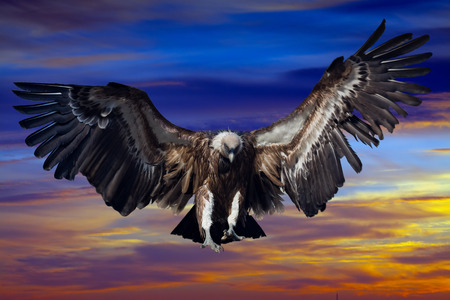 condor: Flying  condor  in sunset sky